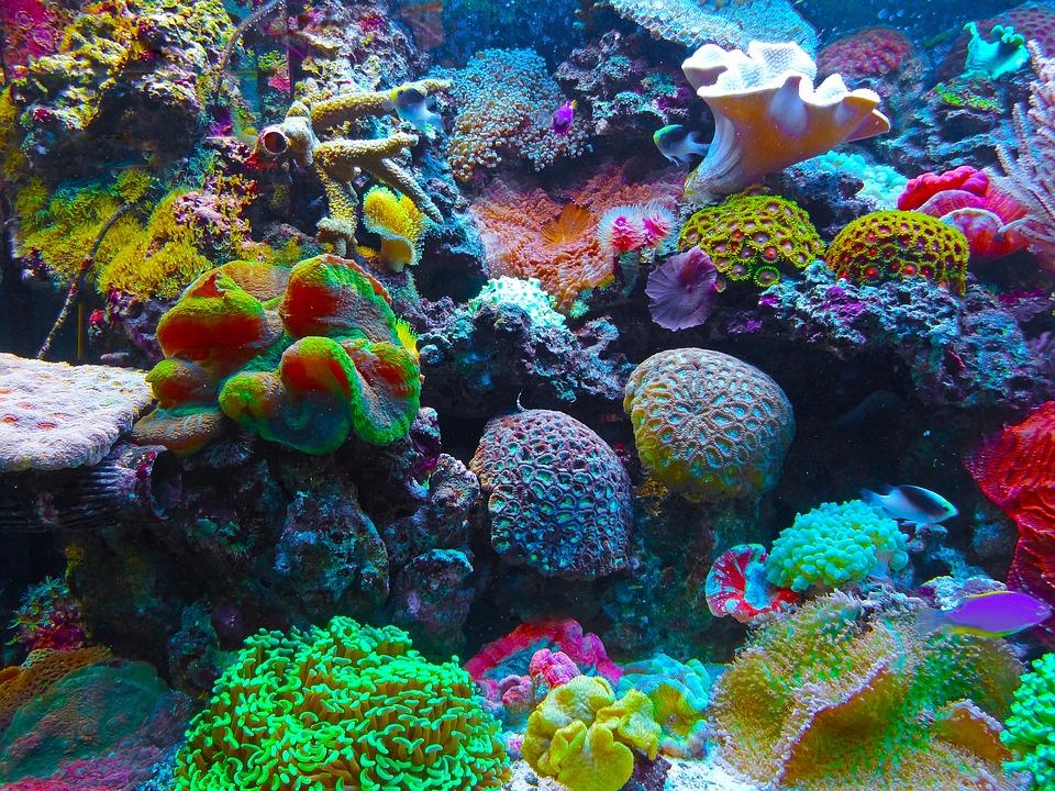 https://pixabay.com/sv/korall-korallrev-revet-havet-567688/