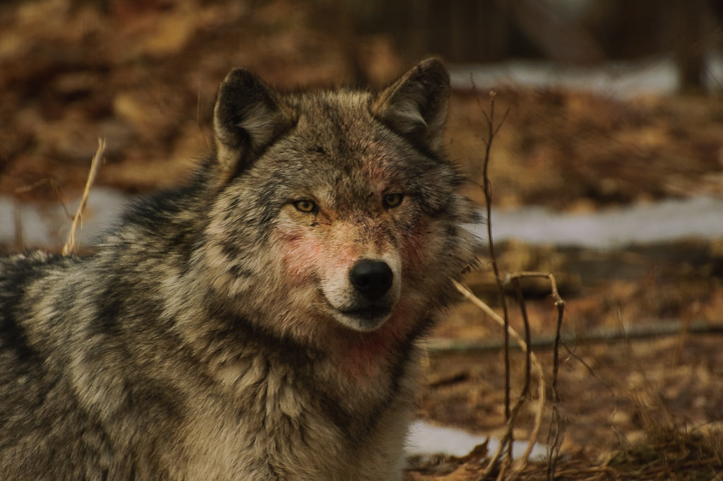 """Foto:""""Wolf"""" by mikec_905 is licensed under CC BY-NC-ND 2.0"""